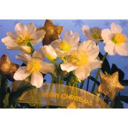Faltkarte Gesegnete Feiertage - Christrosen